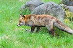 Fox (Vulpes vulpes)